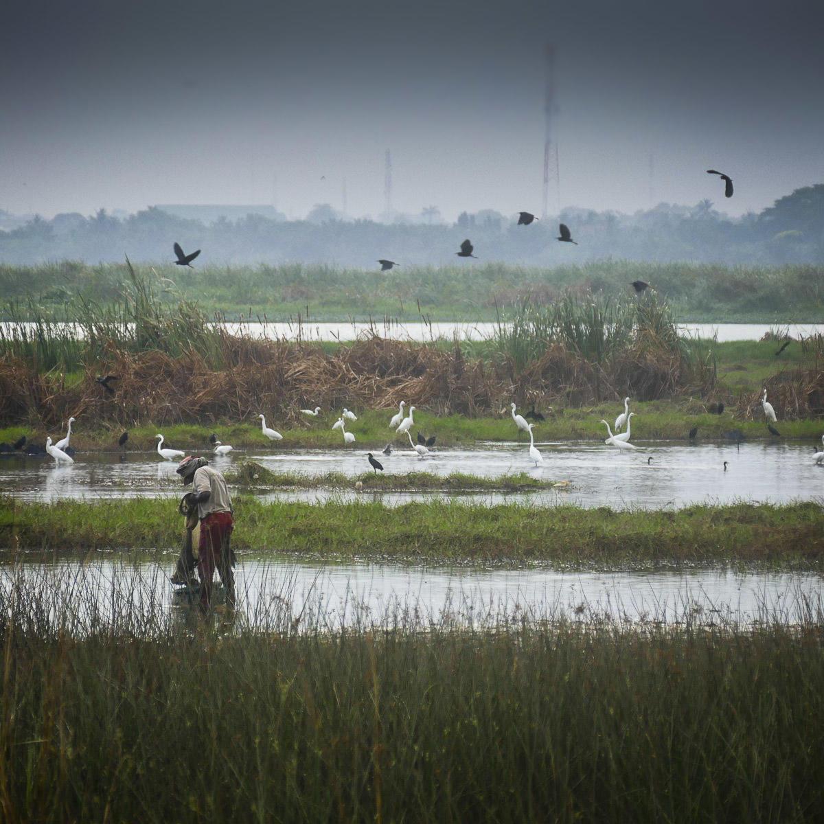Herons and egrets surround a fisherman at Sakumono Lagoon at dawn. Noah Strycker