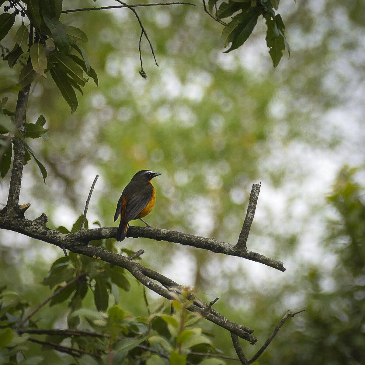 Noah's view of a Mountain Robin-Chat on Mount Cameroon. Noah Strycker
