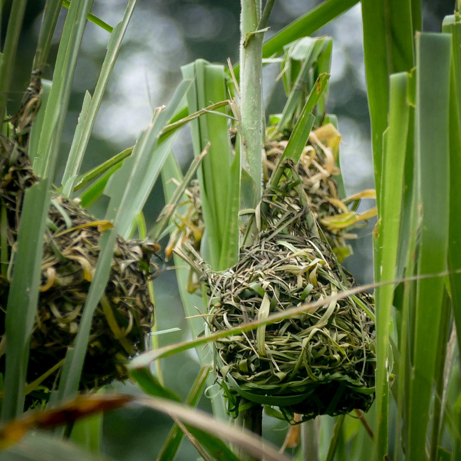 Village Weaver nests are one of the most conspicuous signs of bird activity in Cameroon. Noah Strycker