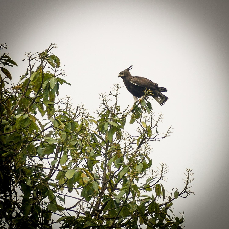 Noah's view of a Long-crested Eagle outside Buea, Cameroon. Noah Strycker