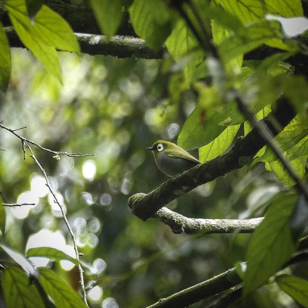 Noah's view of a Taita (Broad-ringed) White-eye in the Taita Hills.