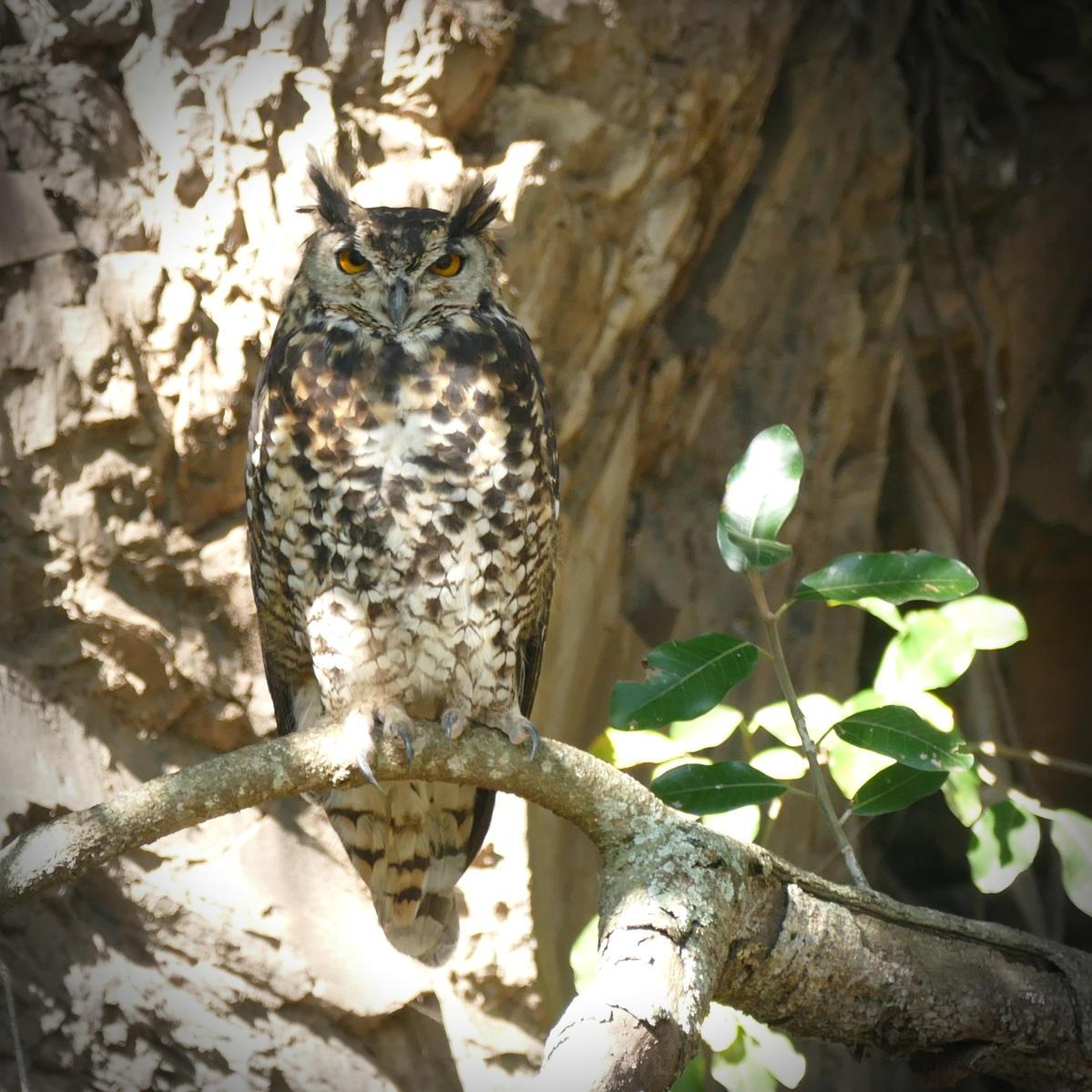 Noah's view of a Cape Eagle-Owl -- a good omen!