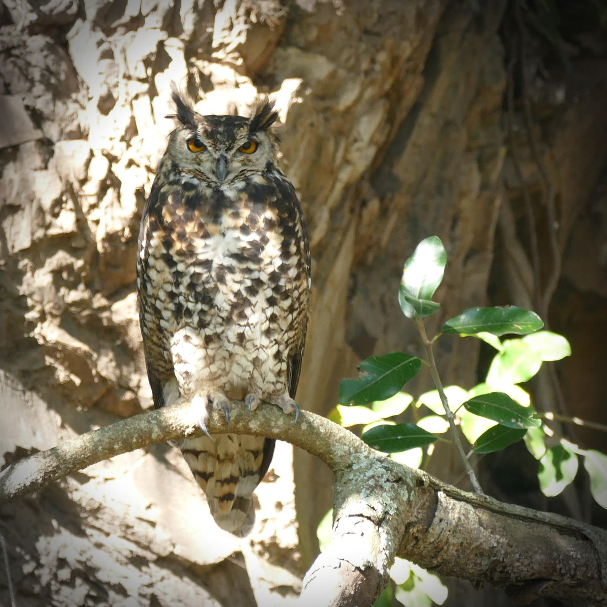 Noah's view of a Cape Eagle-Owl -- a good omen!. Noah's view of a Cape Eagle-Owl -- a good omen! Noah Strycker