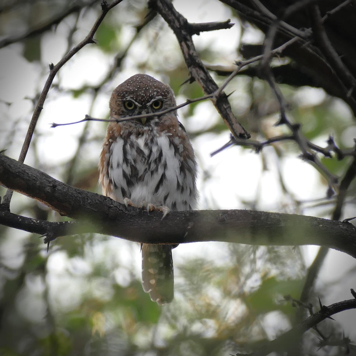 Noah's view of a Pearl-spotted Owlet at Lake Baringo.