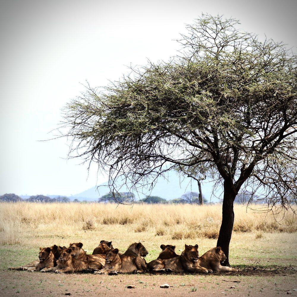 Thirteen lions take a shady siesta at Serengeti National Park. Thirteen lions take a shady siesta at Serengeti National Park. Noah Strycker