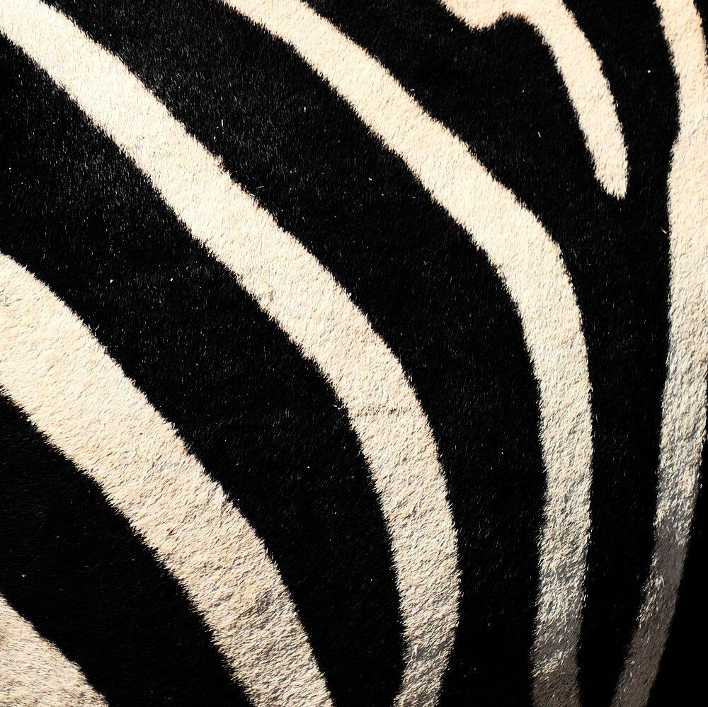 Every zebra has unique stripes, like a fingerprint.