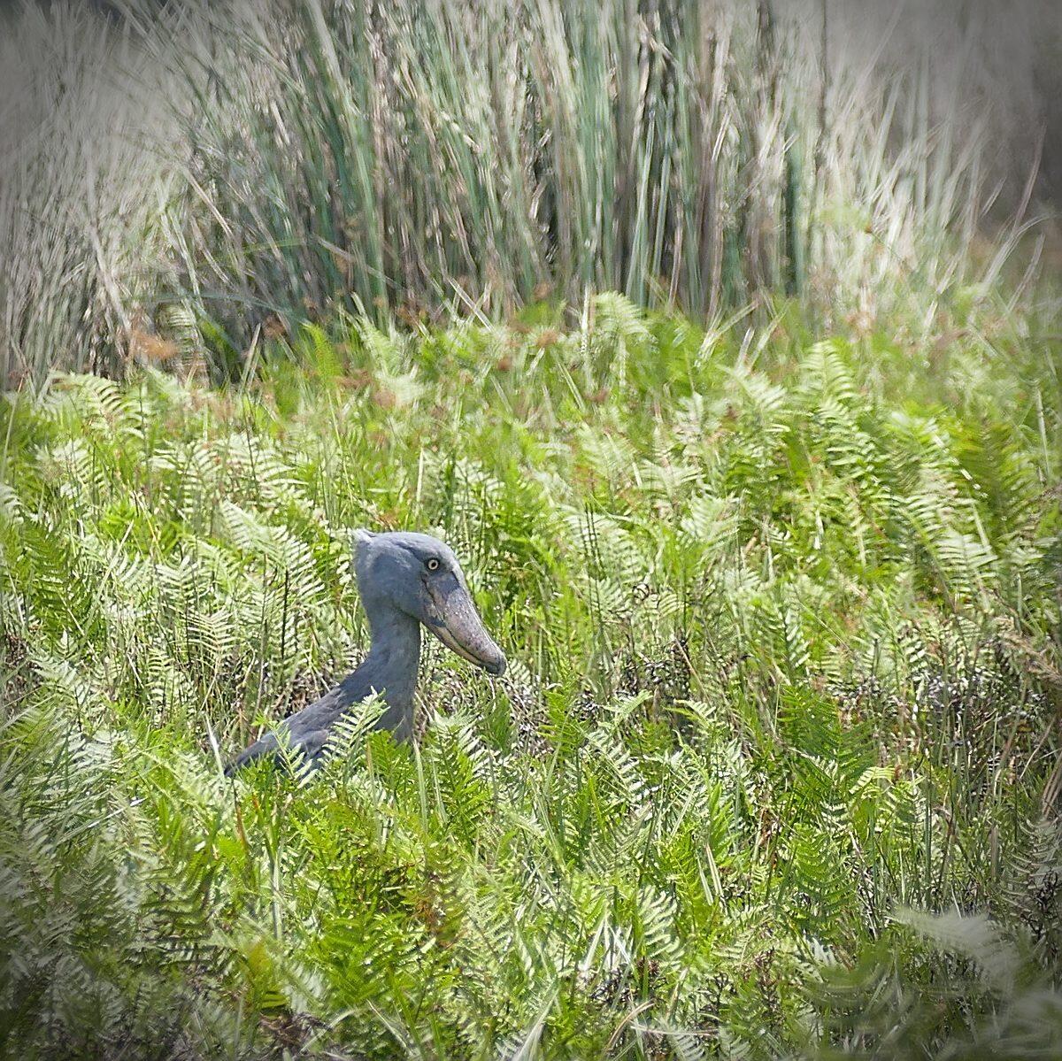 A Shoebill lurks in the Mabamba Swamp near Entebbe. A Shoebill lurks in the Mabamba Swamp near Entebbe. Noah Strycker