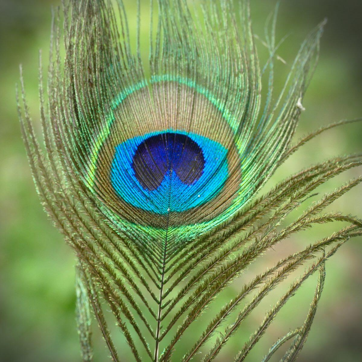A peacock feather (from a wild, native bird) in the dry forest. Noah Strycker