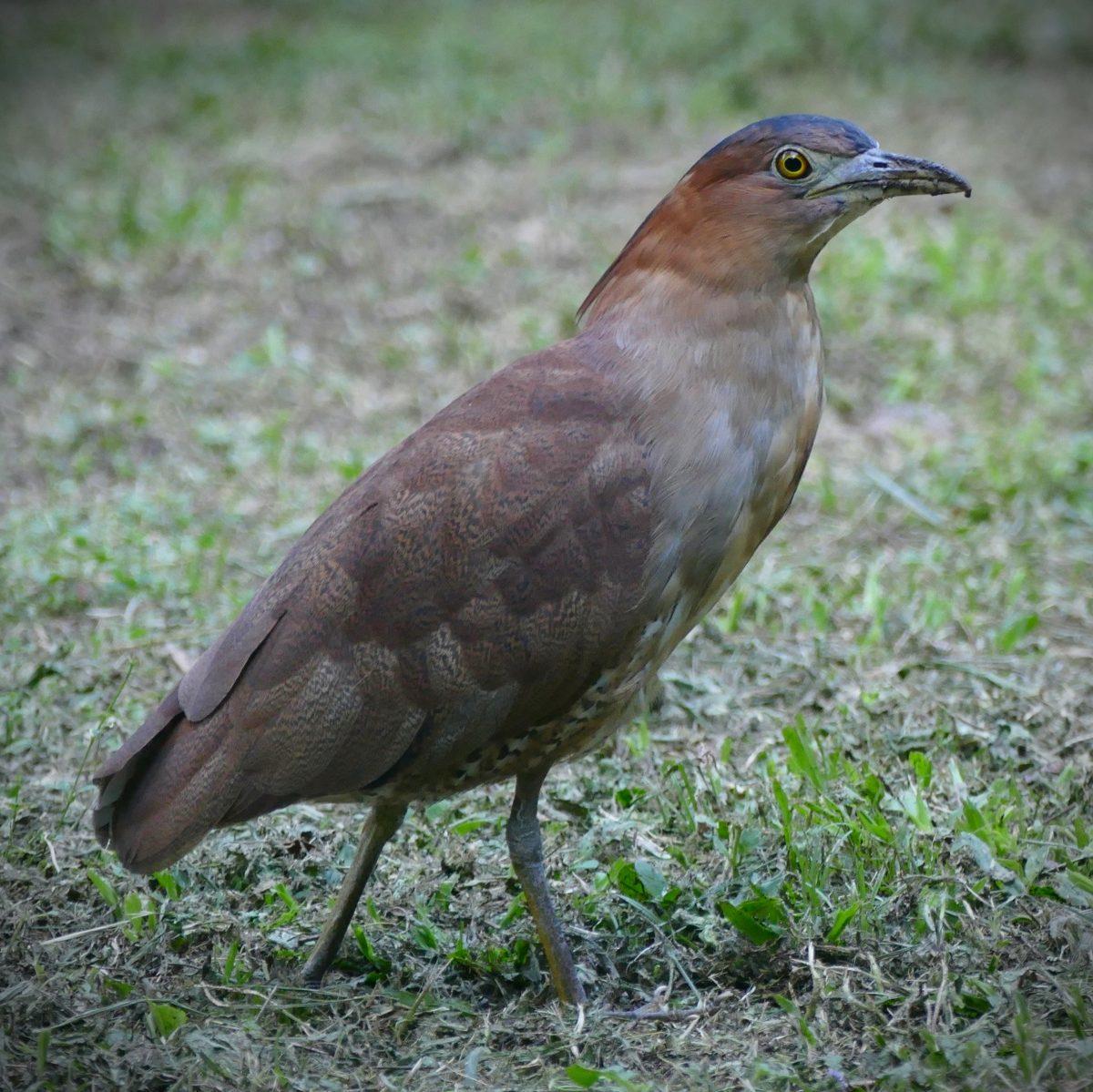 A Malayan Night-Heron hangs out at the Huisun Experimental Forest. Noah Strycker