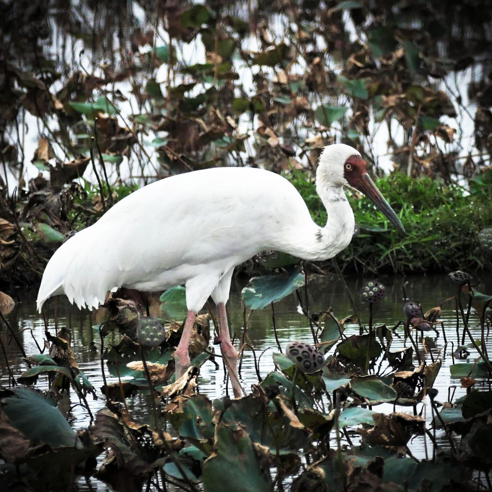 This wayward Siberian Crane arrived in Taiwan almost a year ago and has won the hearts of locals. Noah Strycker