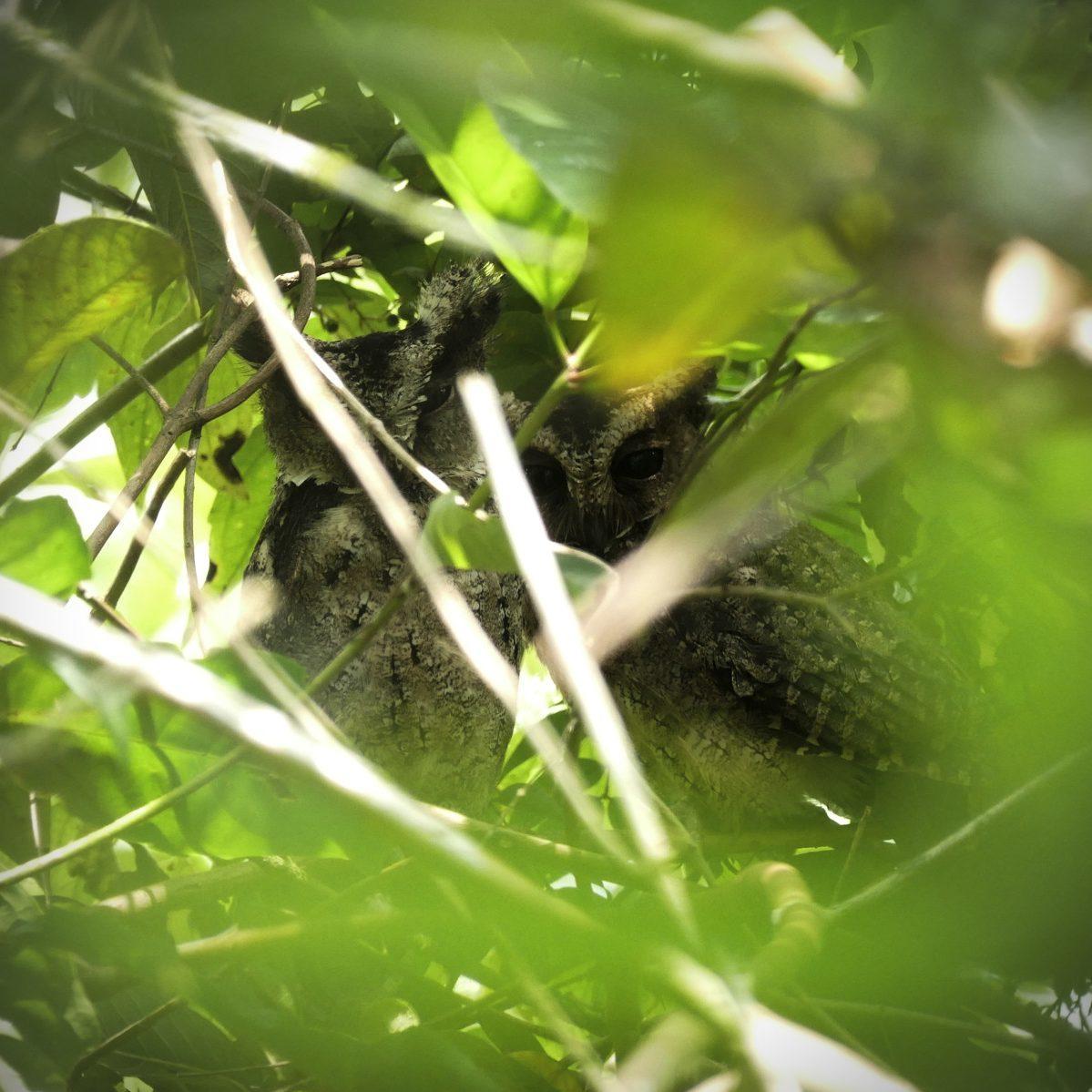 A pair of Everett's Scops-Owls roosts at Habitat Bohol. Noah Strycker