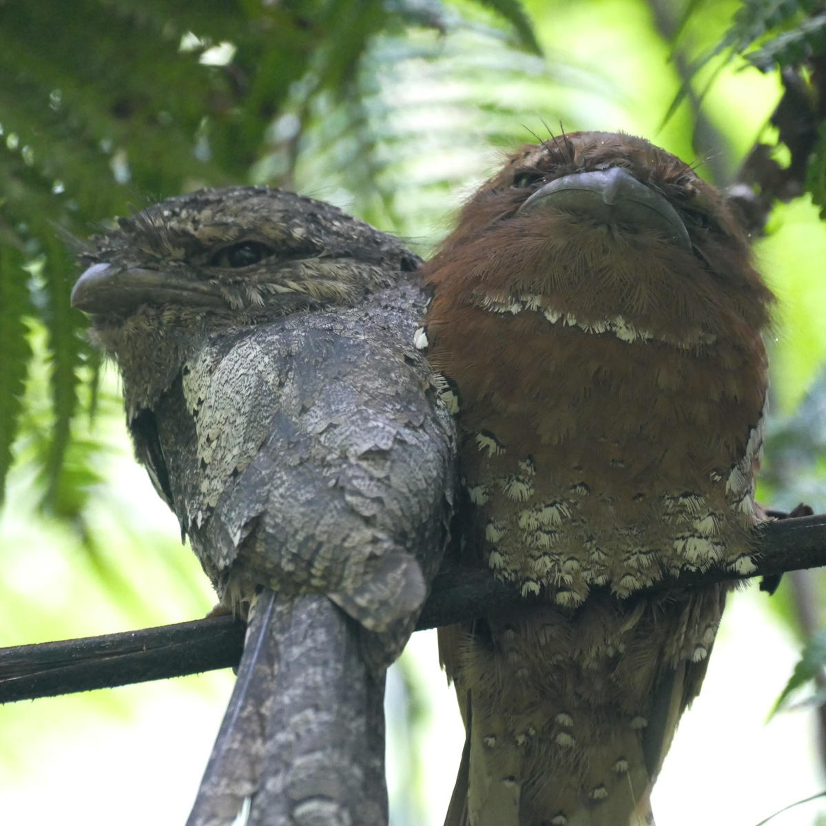A pair of Sri Lanka Frogmouths roost at the Sinharaja Forest. Noah Strycker