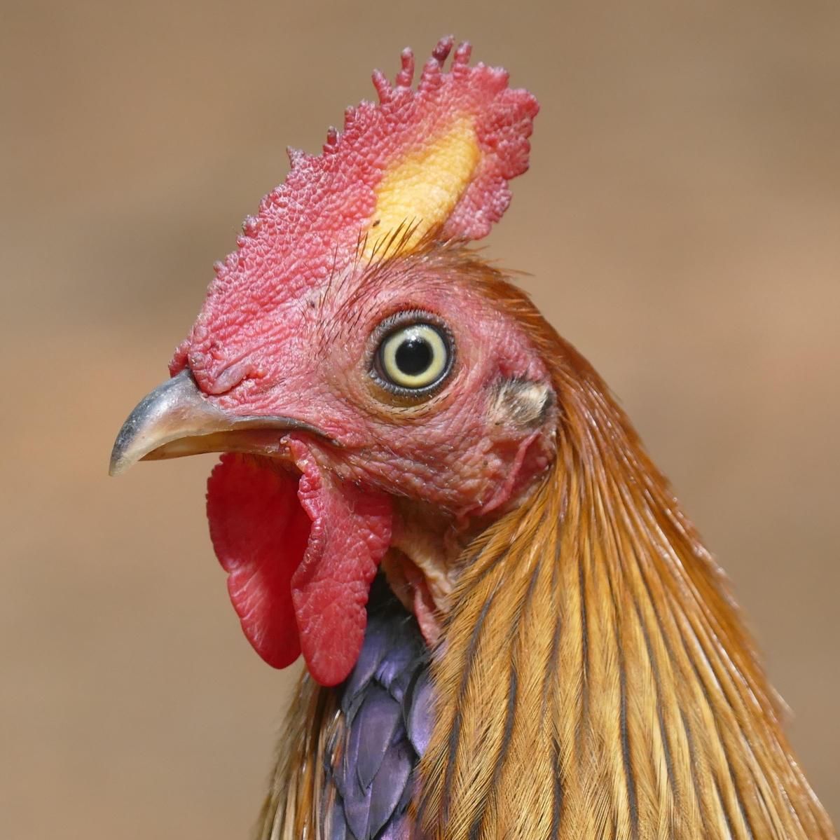 The Sri Lanka Junglefowl (a wild, native, endemic bird) looks just like a domestic chicken. Noah Strycker
