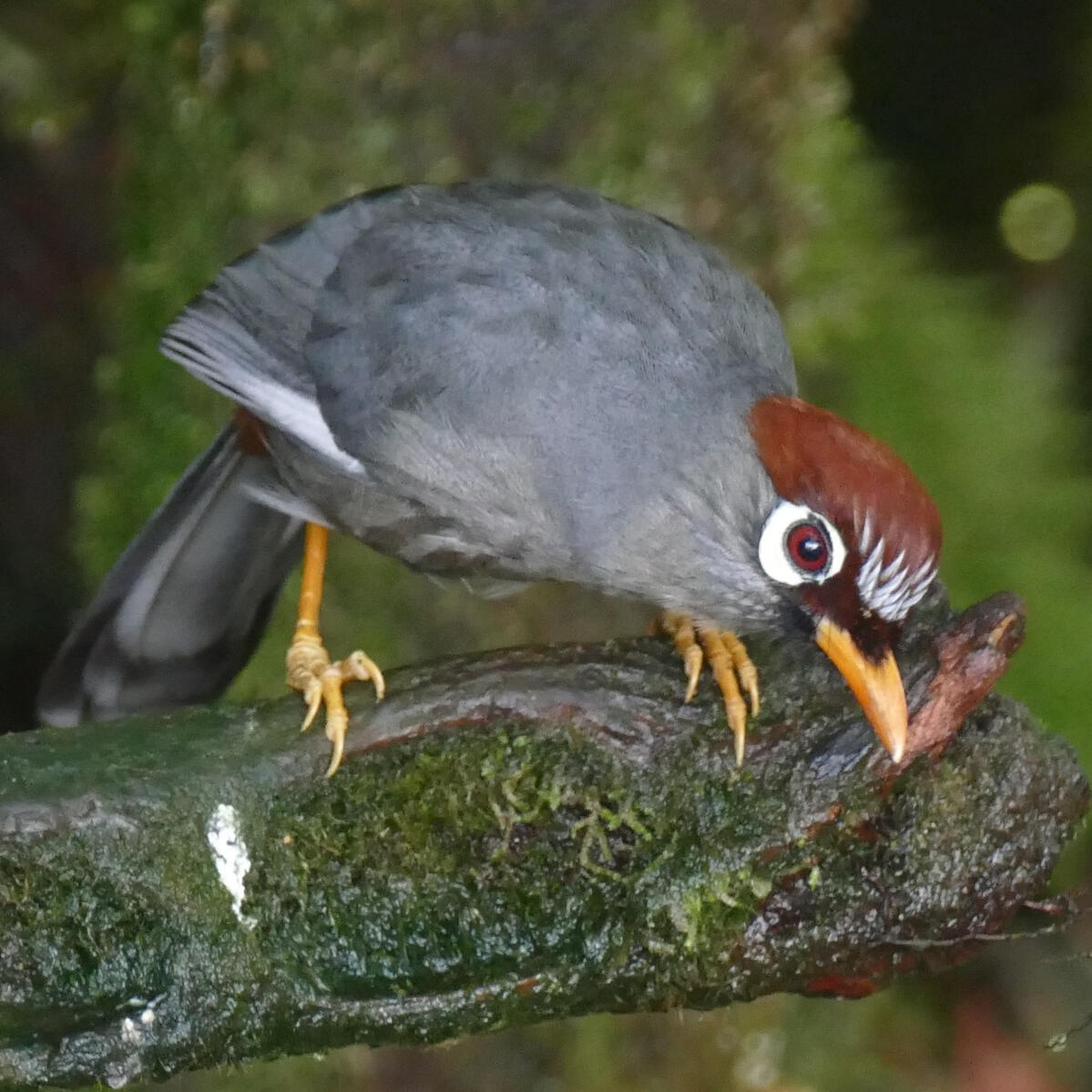 A Chestnut-capped Laughingthrush in the Genting Highlands. Noah Strycker