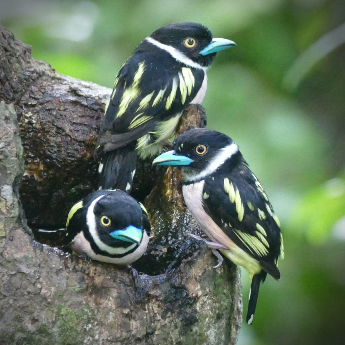 A trio of Black-and-yellow Broadbills poses on a tree trunk. Noah Strycker
