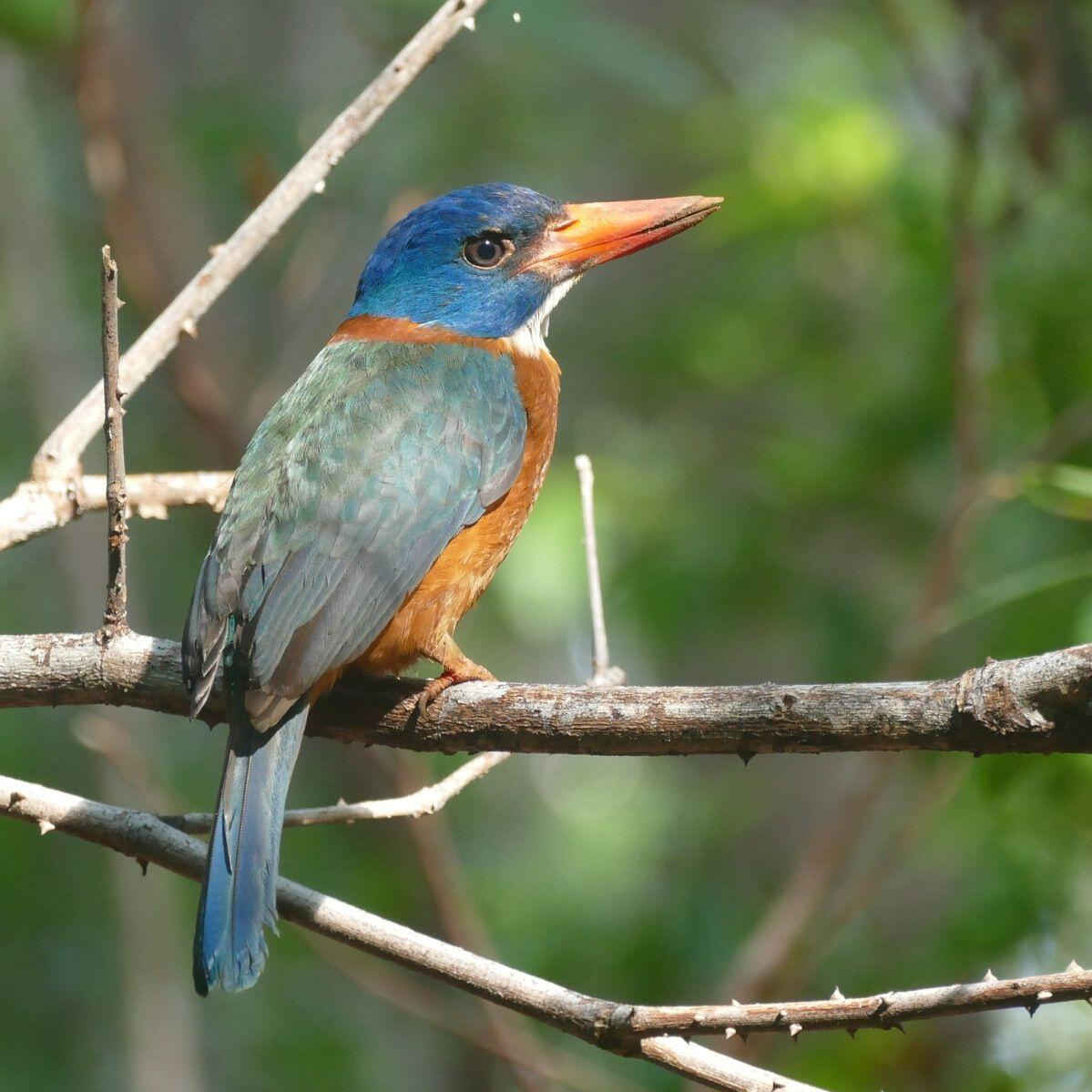 A Green-backed Kingfisher in the Tangkoko forest. Noah Strycker