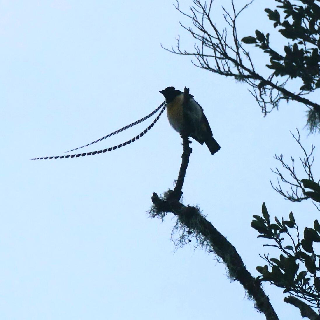 A male King-of-Saxony Bird-of-Paradise displays above Rondon Ridge. Noah Strycker