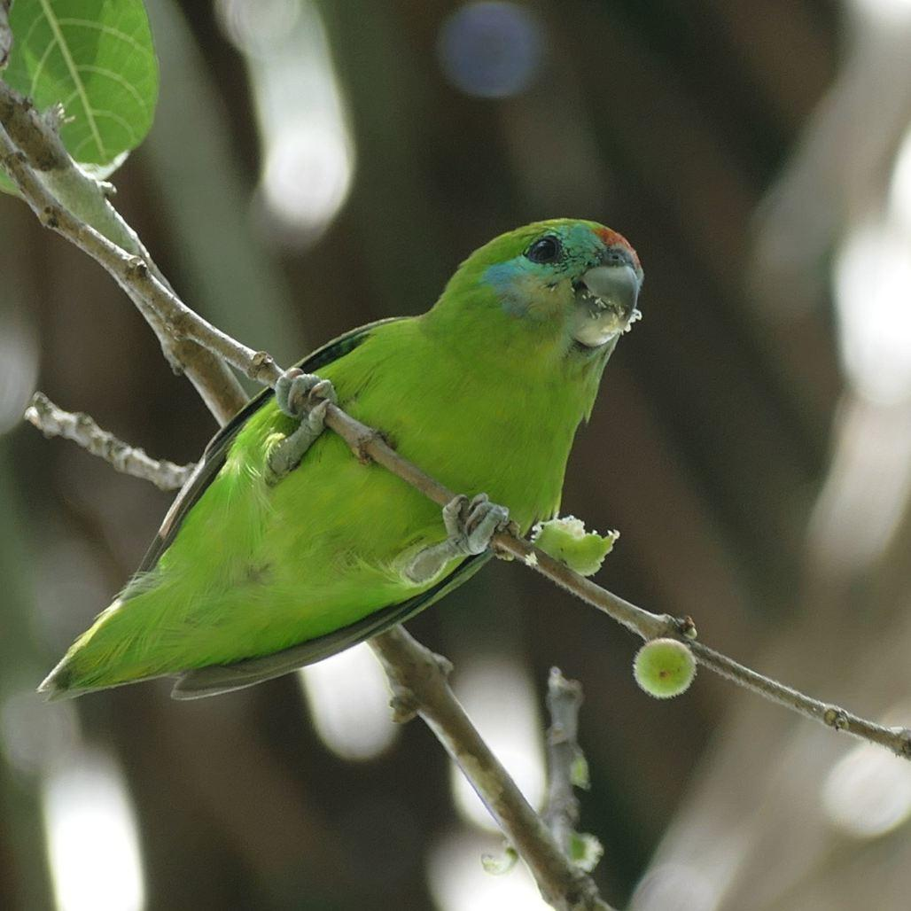 A Double-eyed Fig-Parrot hangs out at the Cairns cemetery. Noah Strycker