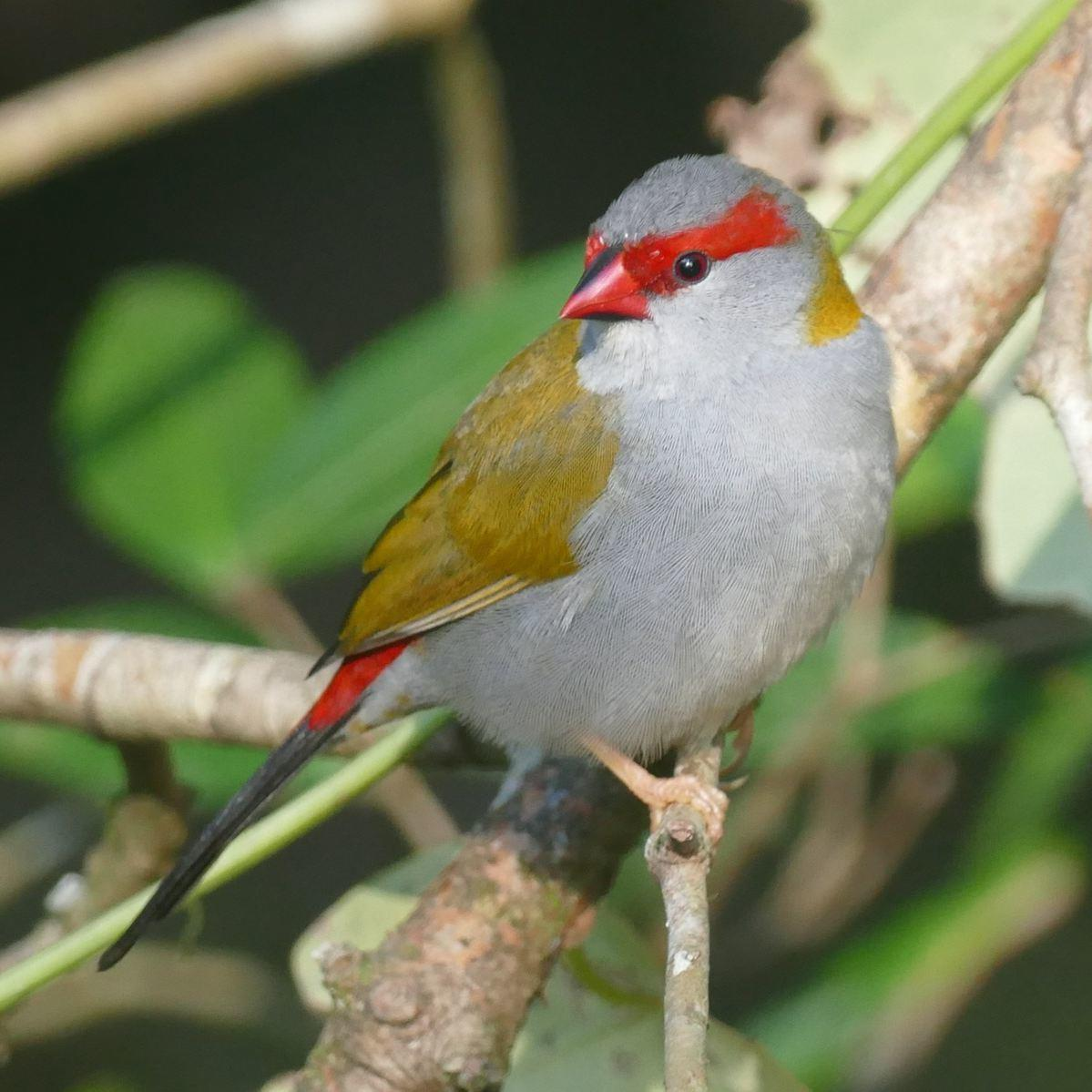 A Red-browed Firetail perches at Kingfisher Park. Noah Strycker