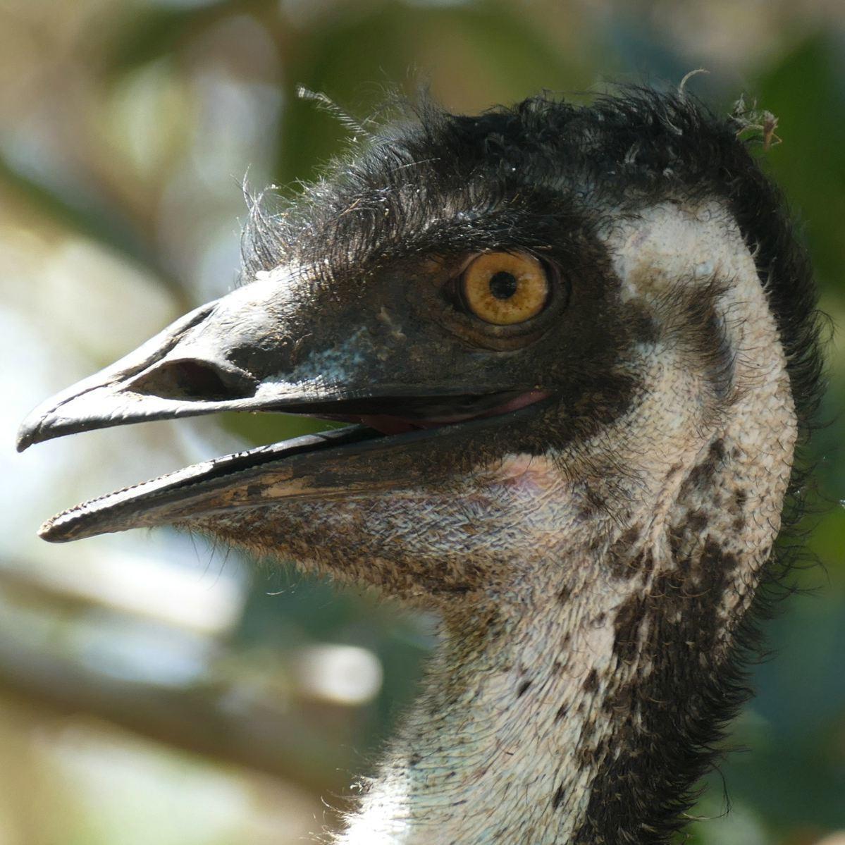 An Emu at the Mareeba Wetlands Reserve. Noah Strycker