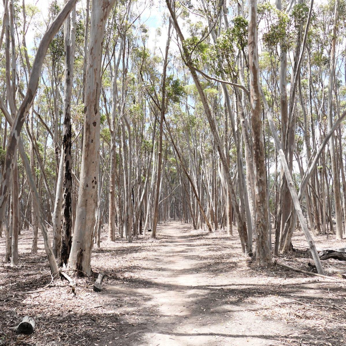 Dry Eucalyptus forests easily catch fire in extreme heat. Noah Strycker