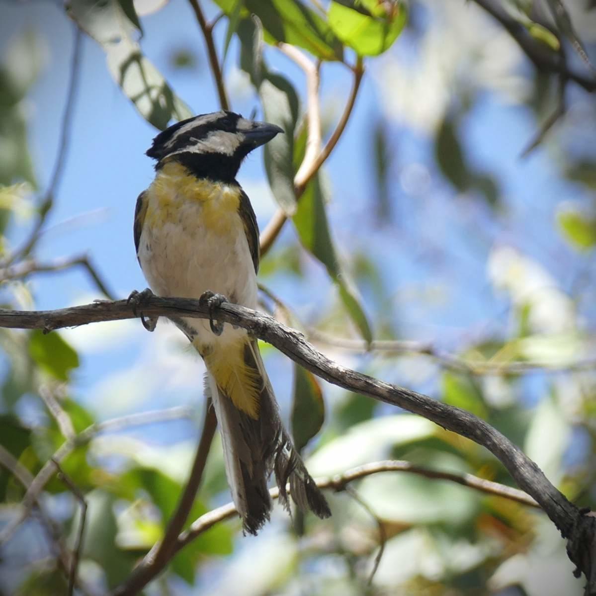 A bonus Crested Shrike-Tit. Noah Strycker
