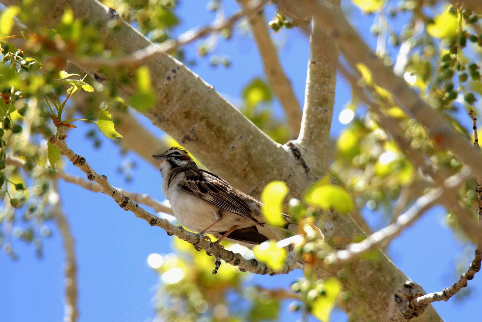 Lark Sparrow In A Cottonwood Tree. Lark Sparrow spotted near the Green River, Eastern Utah. David Druker