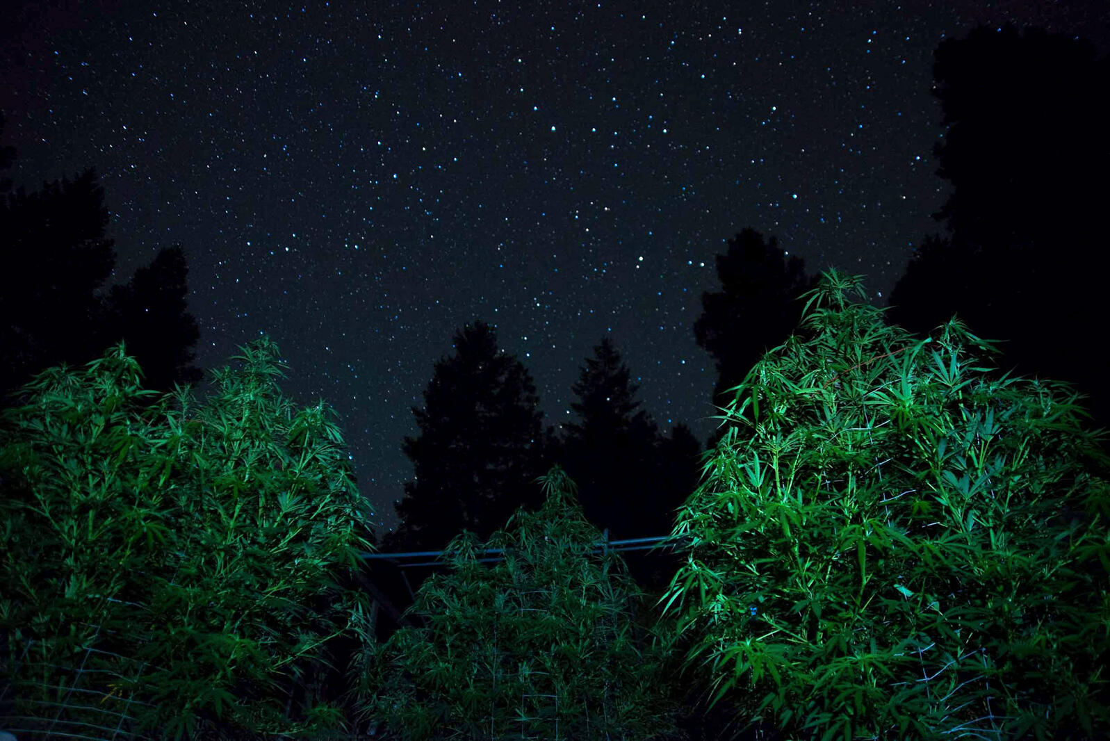Blue dream cannabis plants at a grow site in Mendocino County, California. As legal farms take root around forests, night lighting becomes a concern for migrating birds and nocturnal wildlife. Zuma Press Inc./Alamy
