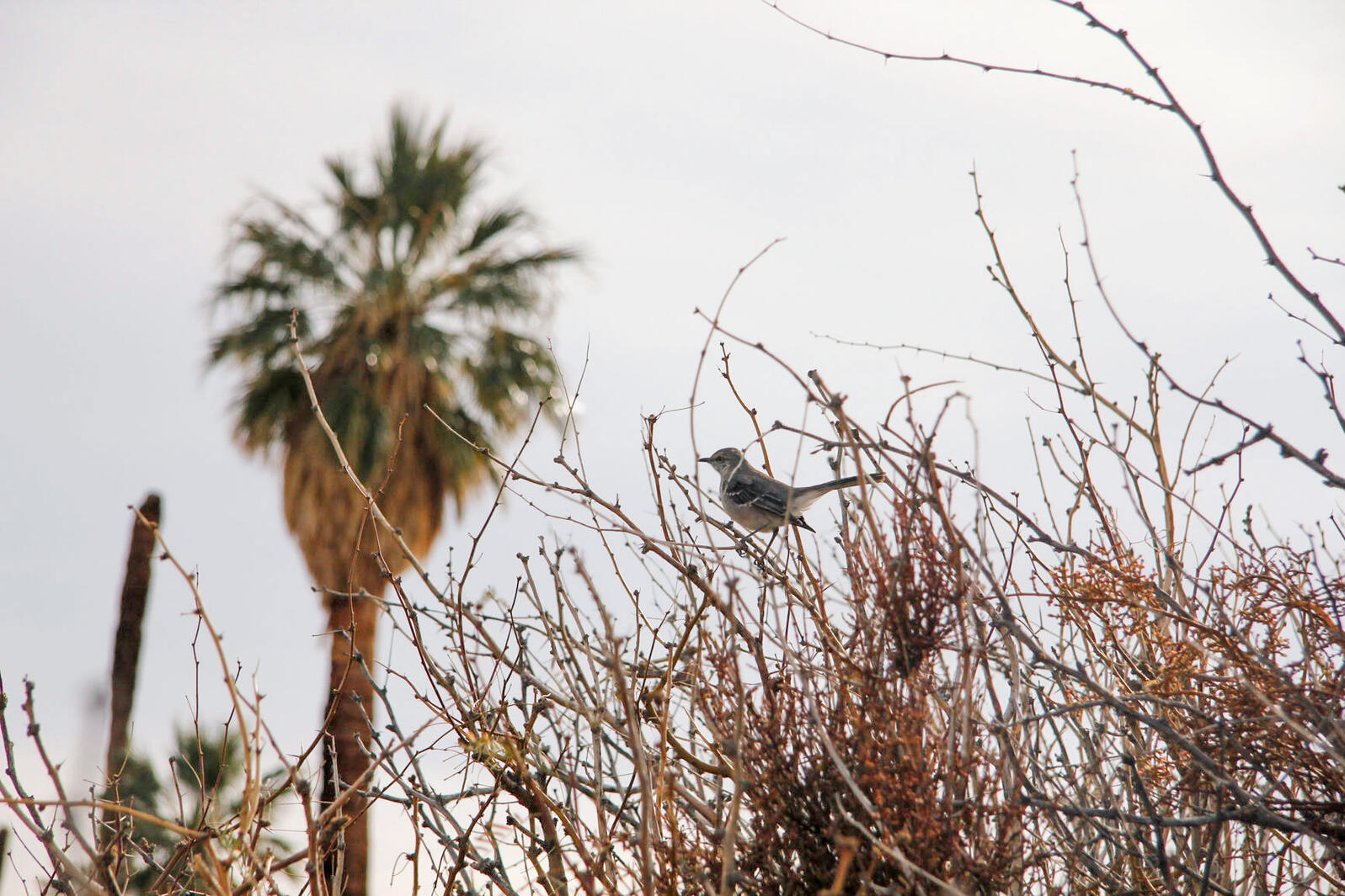 Northern Mockingbirds are disappearing from the Mojave Desert as it gets hotter and drier. Natural History Archive/Alamy