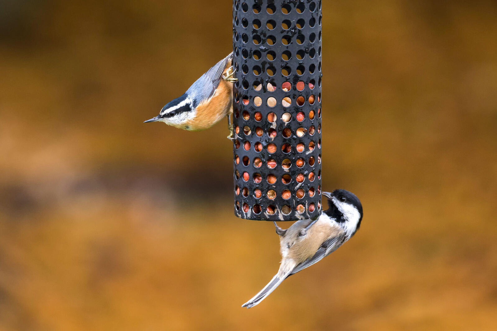 Red-breasted Nuthatch and Black-capped Chickadee. Feng Yu/Alamy