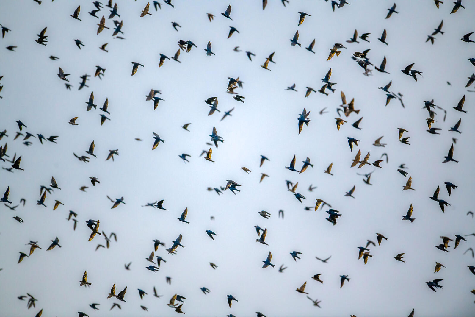 A flock of Purple Martins—small swallows that catch insects in the air—fly over the field site in Brazil. Marcos Amend