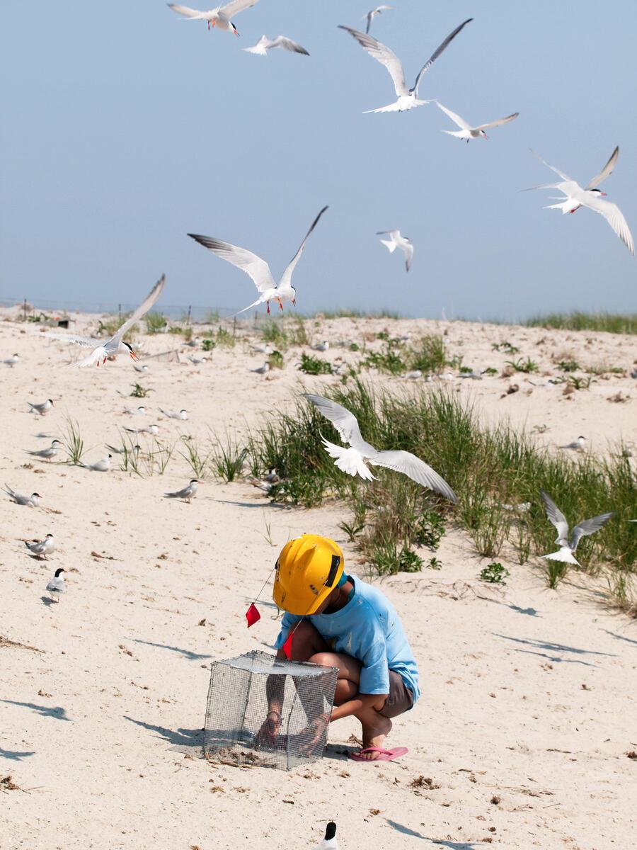 Biologist checking tern exclosures at Monomoy National Wildlife Refuge, Massachusetts. USFWS