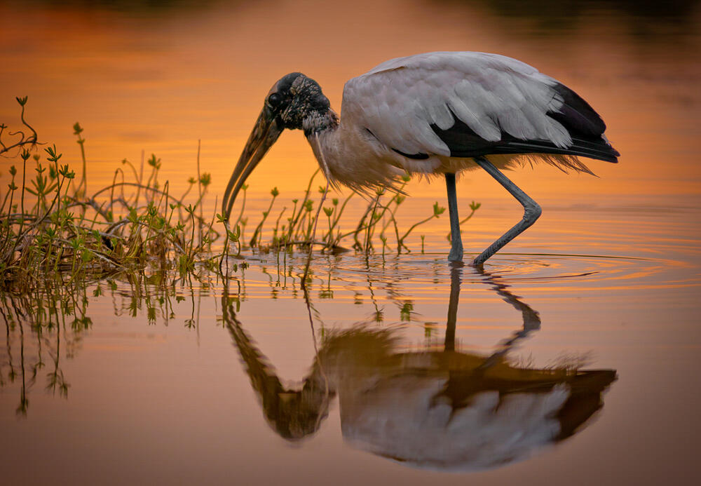 A Wood Stork foraging in shallow water at sunset. An agricultural drainage project proposed near the Big Sunflower River would drain 200,000 acres of wetlands that support the federally-threatened Wood Stork. Frederick Wasmer/Audubon Photography Awards