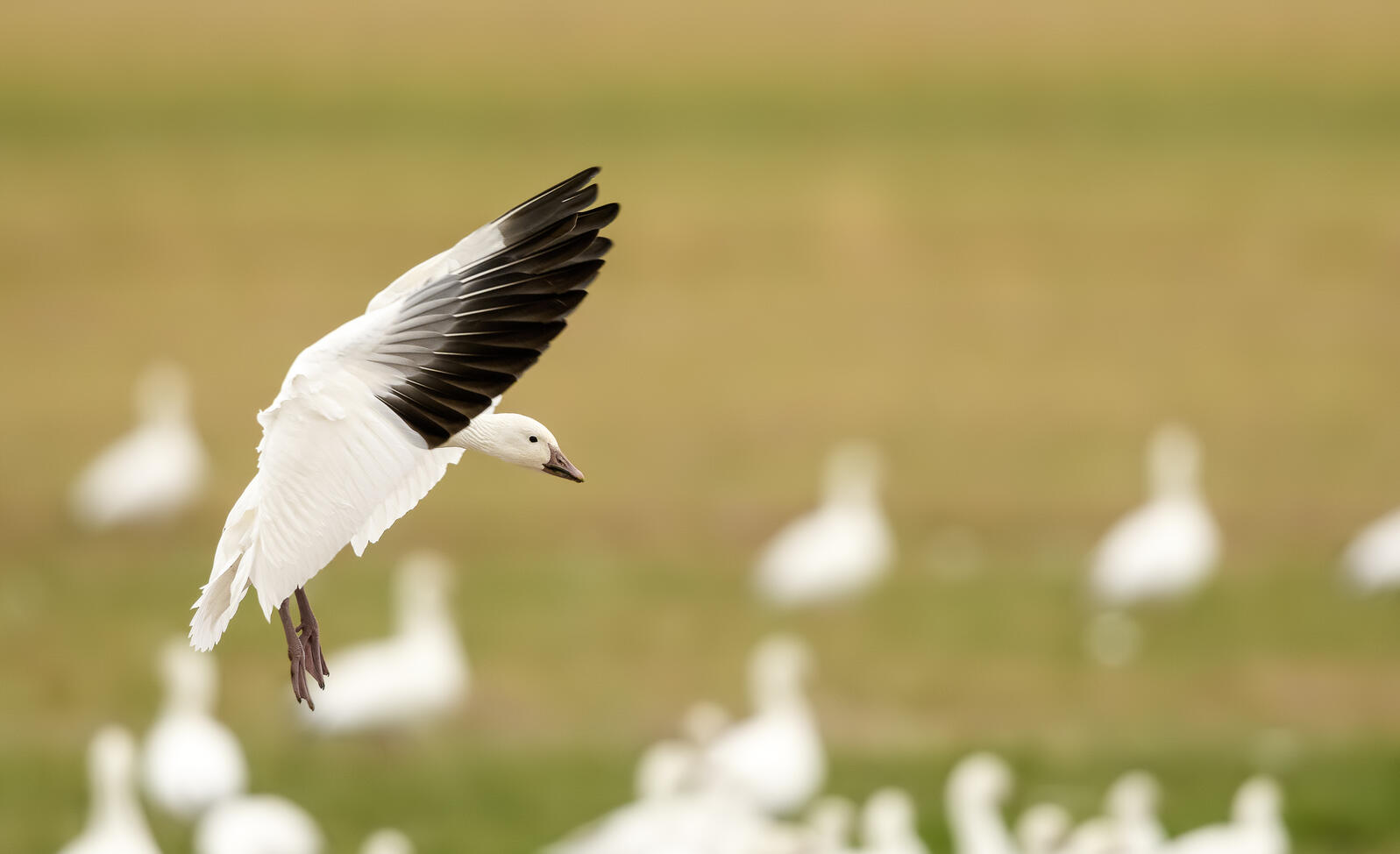 A white goose with upraised white wings with black wingtips is about to land on the ground.