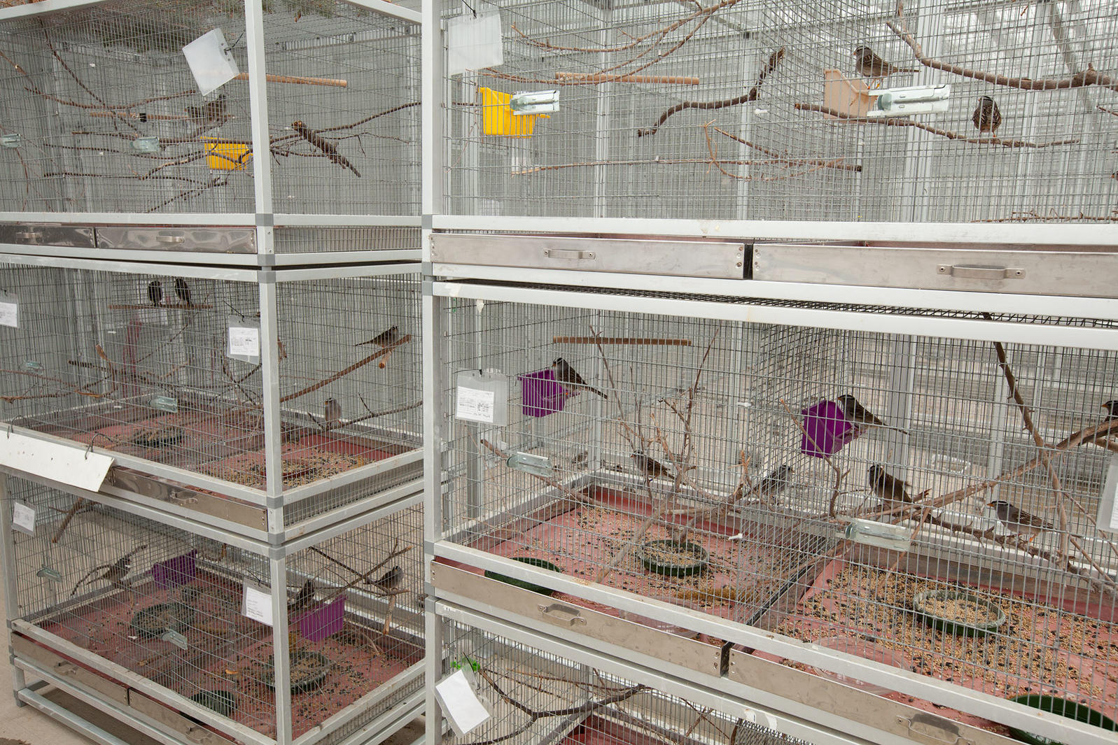 White-crowned Sparrows, part of Margaret Eng's study, at the Facility for Applied Avian Research at the University of Saskatchewan. Connor Stefanison
