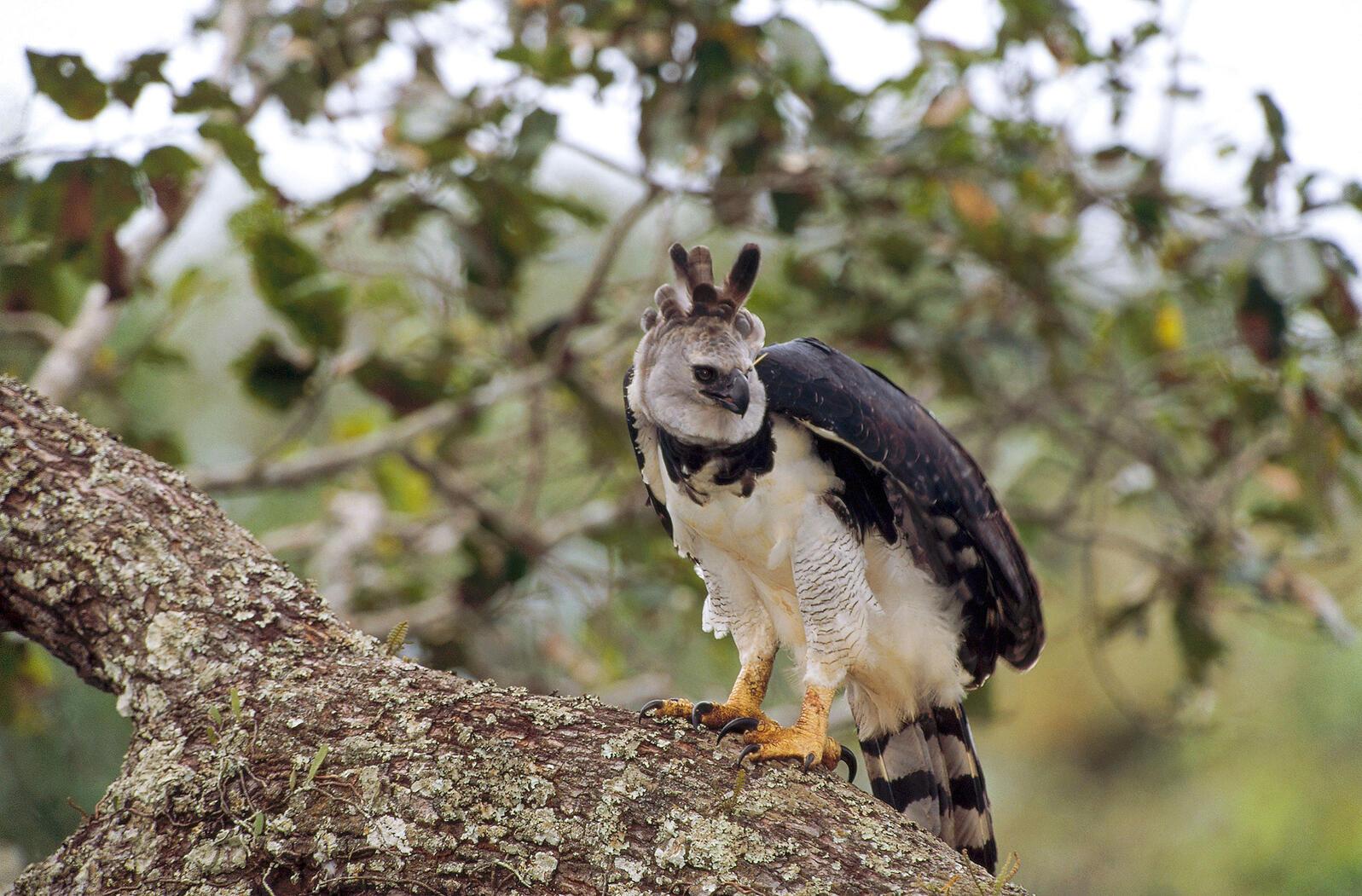 Harpy Eagle. Tui De Roy/Minden Pictures