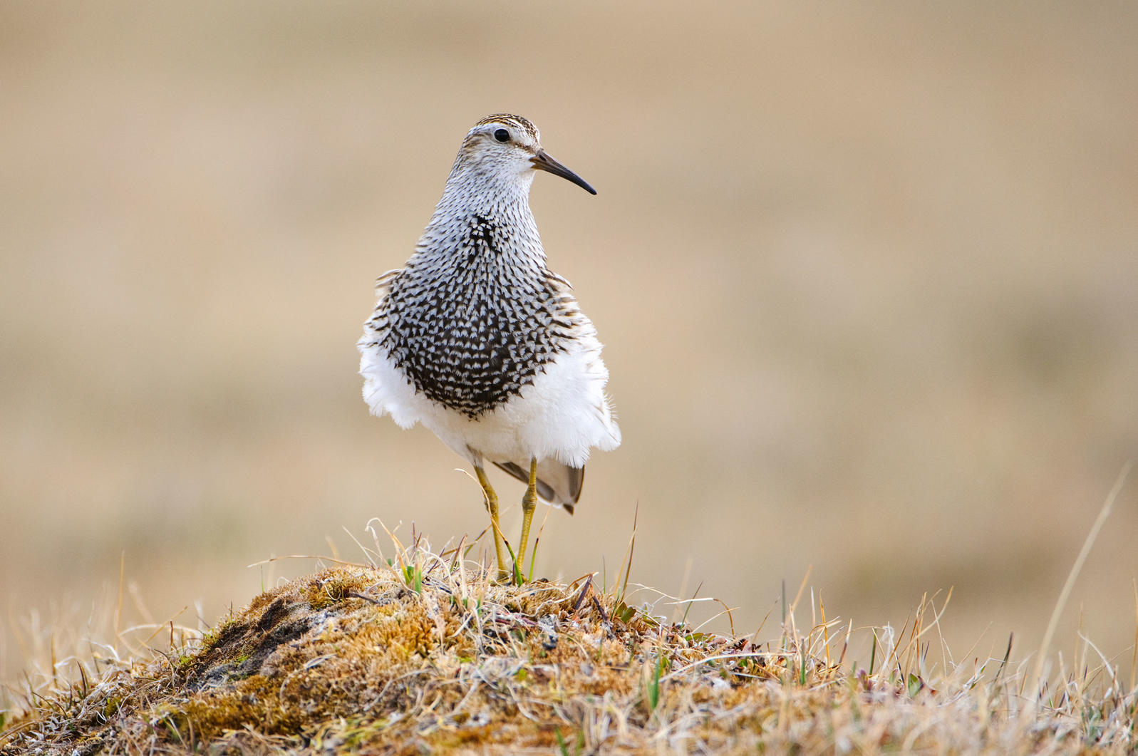 An adult male Pectoral Sandpiper takes a break between its hoot-filled display flights. Gerrit Vyn/Minden Pictures