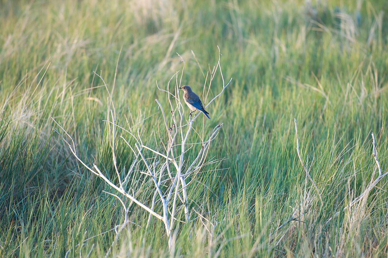 "Mountain Bluebird. <a href=""https://www.flickr.com/photos/92640669@N07/8422126978/in/photolist-mL8Q9k-dQ8EZp-dQeAXU-dQeAVQ"">bwinesett</a>/Flickr (CC BY-ND 2.0)"