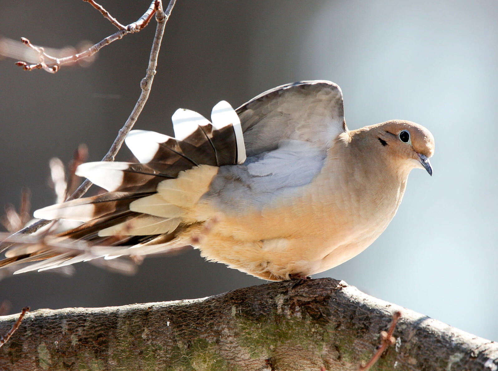 Mourning Doves make for weird-looking owls. Linda Huffman/Great Backyard Bird Count