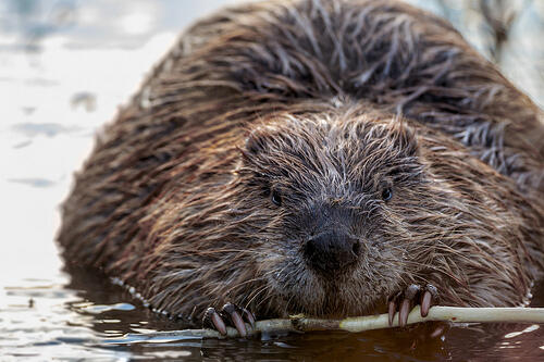 North American Beaver. North American Beaver. Tim Lumley/Flickr (CC BY-NC-ND 2.0)