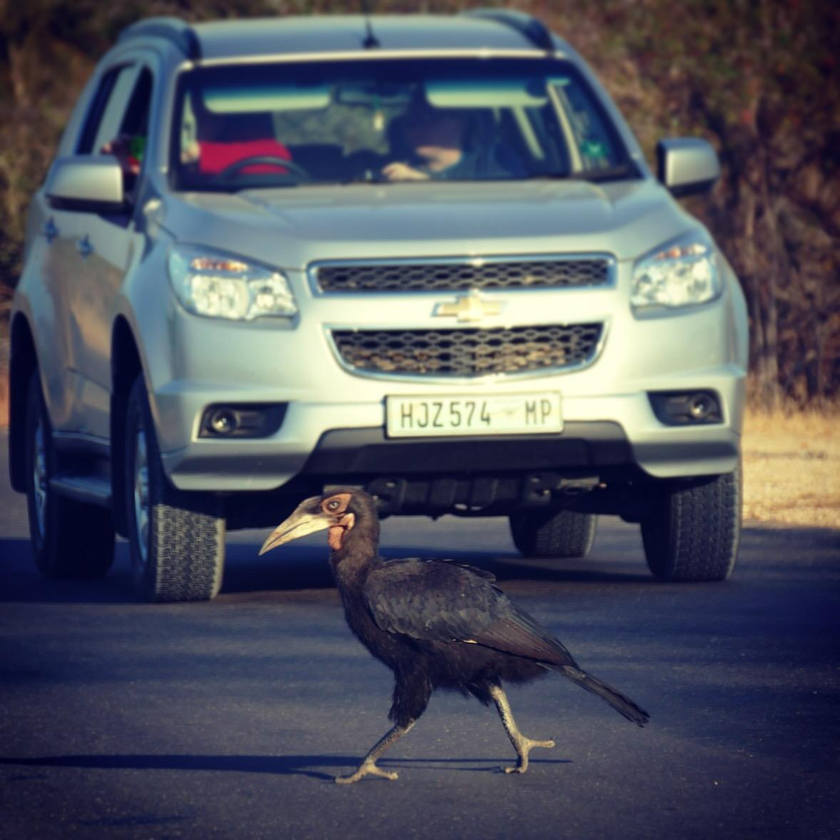 A Southern Ground-Hornbill crosses the road at Kruger National Park. Noah Strycker