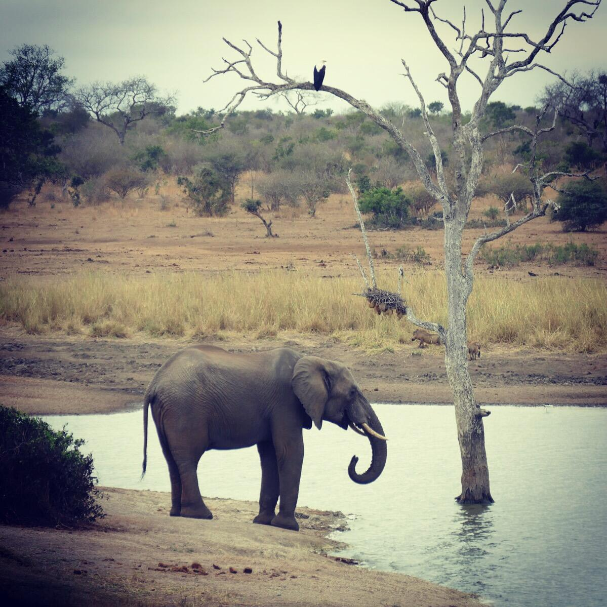 """An elephant, the biggest of the """"big five,"""" lingers for a drink at a waterhole (with an African Fish-Eagle perched overhead). Noah Strycker"""