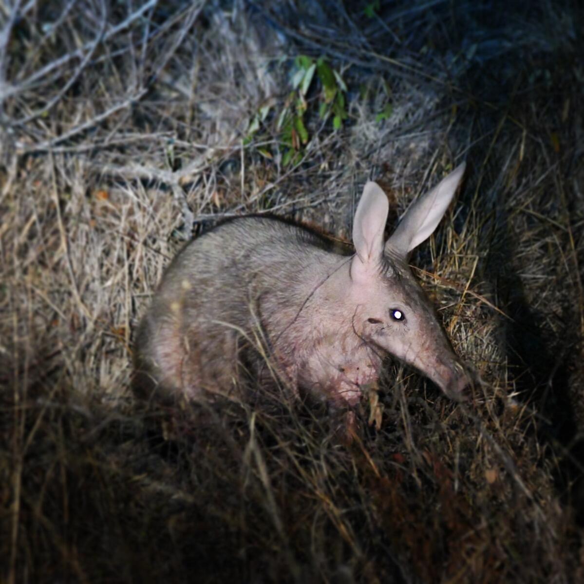 Noah's view of an aardvark at Kruger National Park. Noah Strycker