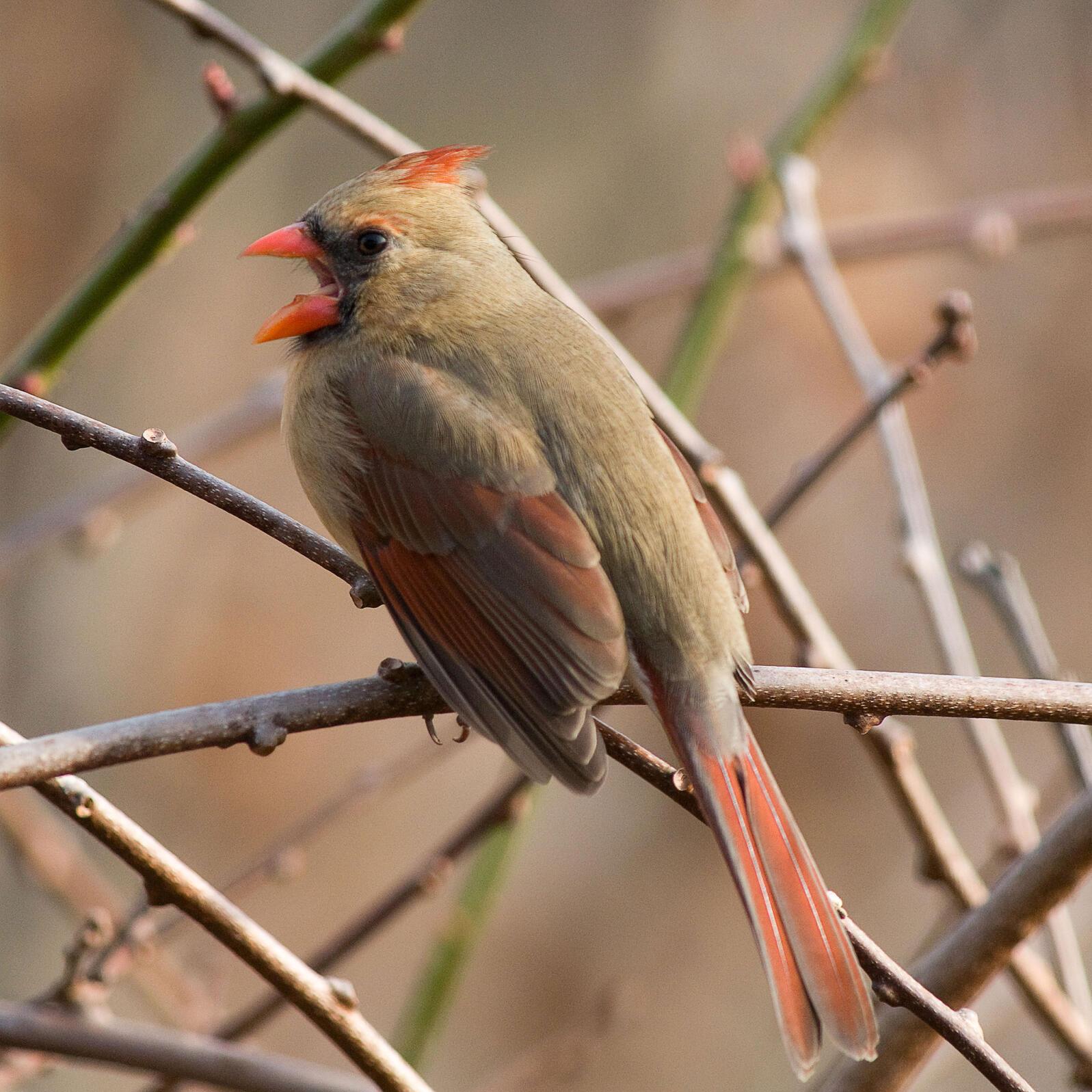Northern Cardinal. Michele Black/Great Backyard Bird Count