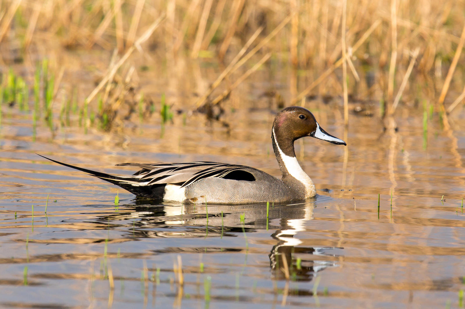 Photo of a Northern Pintail swimming. Northern Pintail. Mick Thompson/Eastside Audubon Society