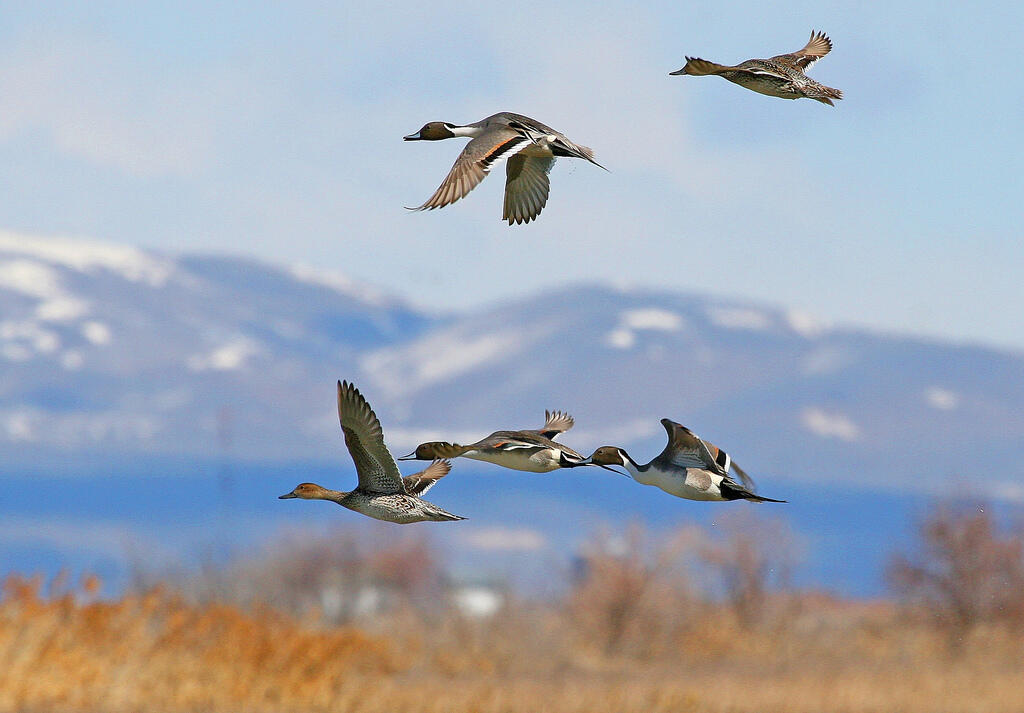 Northern Pintails fly over the Bear River Migratory Bird Refuge in Utah. Northern Pintails fly over the Bear River Migratory Bird Refuge in Utah. J. Kelly/USFWS