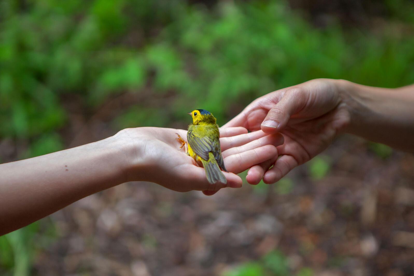 Wilson's Warbler. Camilla Cerea/Audubon