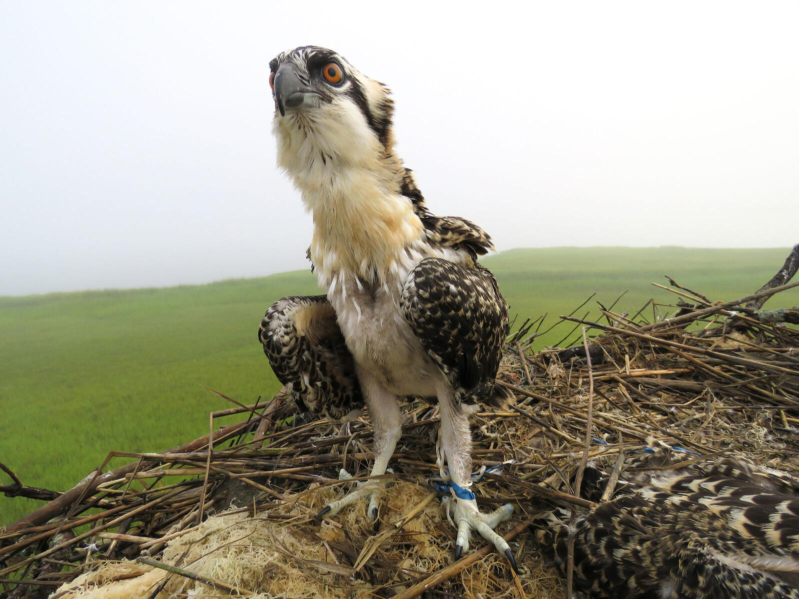 Ribbon from balloons, which can dangerously wrap around Osprey legs and wings, is one of the most common pieces of garbage Wurst finds in nests. Kathleen Clark