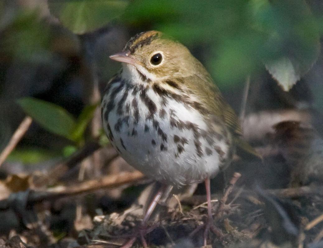 Ovenbird Rebecca Field