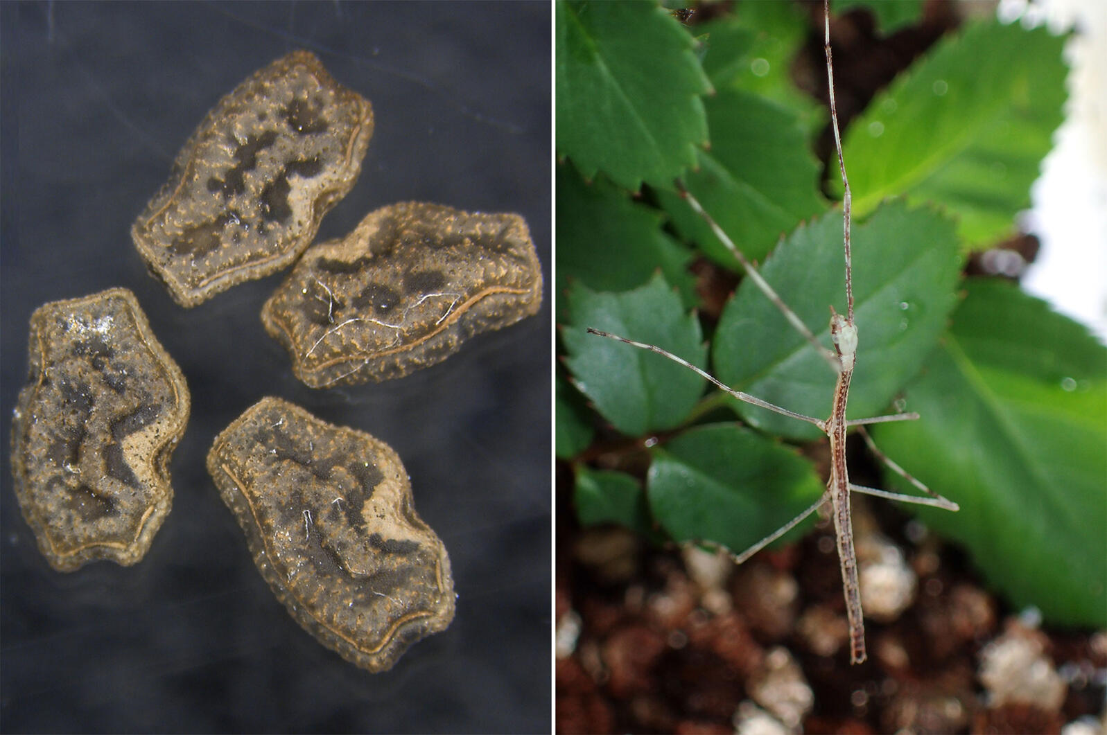From left: Stick insect eggs collected from the excrement of Brown-eared Bulbul; a stick insect that hatched from an ingested egg. Photos: Kenji Suetsugu